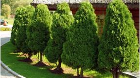 Вечнозеленые