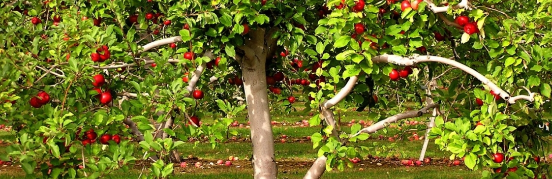Посадка яблуні навесні