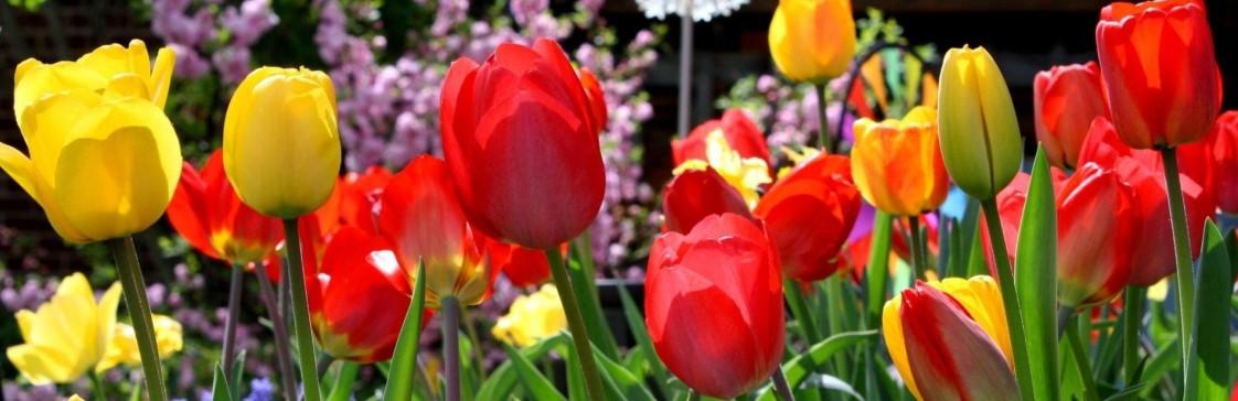 Луковичные растения - первые «звезды» весенних цветников