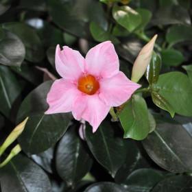 Куст дипладении Cream Pink (розовая)