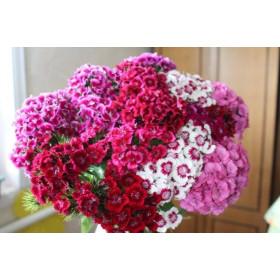 Гвоздика турецкая (разных цветов)