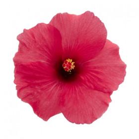 Гибискус Adonicus Dark Pink