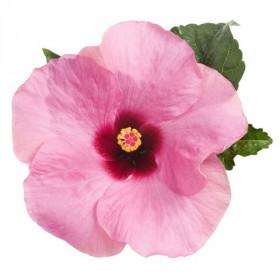 Гибискус Adonicus Pink