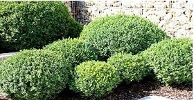 Новое поступление растений: САМШИТ вечнозеленый