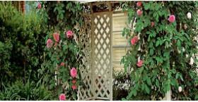 Лучшие виды многолетних цветущих лиан