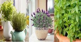 Аптека на подоконнике. 10 лекарственных растений, что легко можно выращивать дома