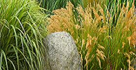 Злаковые - украшение сада