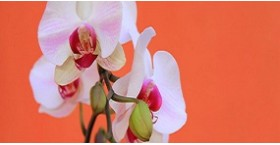 7 советов по уходу за орхидеей