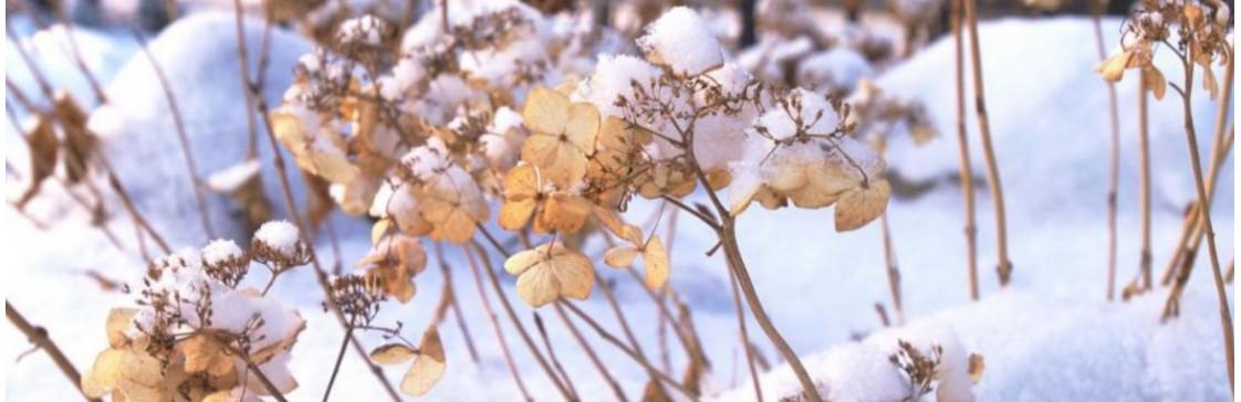 Як правильно підготувати гортензію до зими?