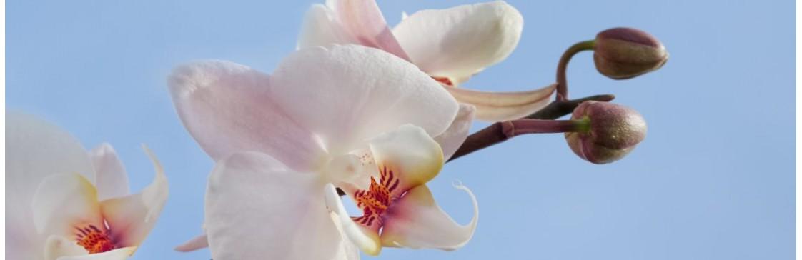 7 порад для догляду за орхідеєю