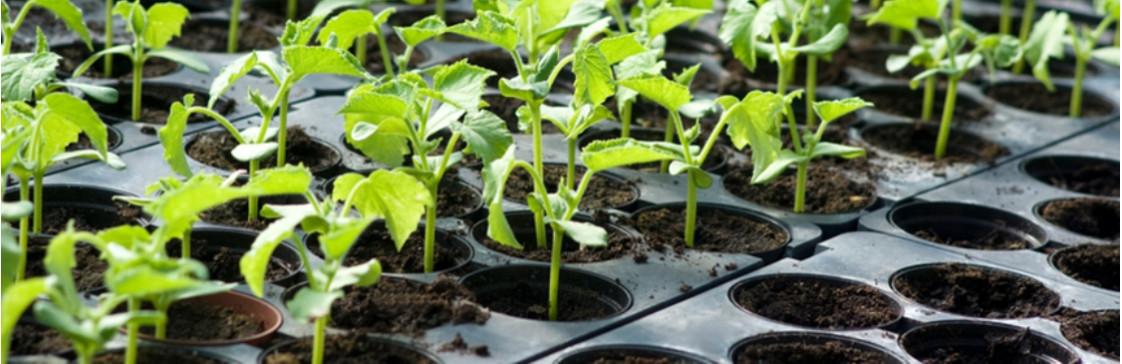 Когда сеять семена на рассаду?